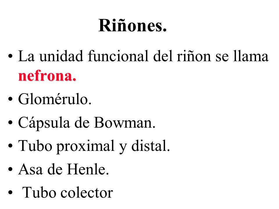 Riñones. nefrona.La unidad funcional del riñon se llama nefrona. Glomérulo. Cápsula de Bowman. Tubo proximal y distal. Asa de Henle. Tubo colector