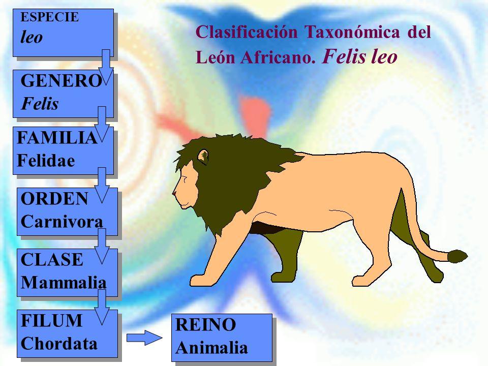 REINO Animalia Clasificación Taxonómica del León Africano. Felis leo ESPECIE leo GENERO Felis FAMILIA Felidae ORDEN Carnivora CLASE Mammalia FILUM Cho
