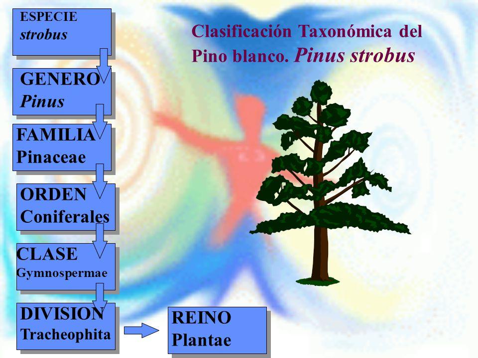 REINO Plantae Clasificación Taxonómica del Pino blanco. Pinus strobus ESPECIE strobus GENERO Pinus FAMILIA Pinaceae ORDEN Coniferales CLASE Gymnosperm