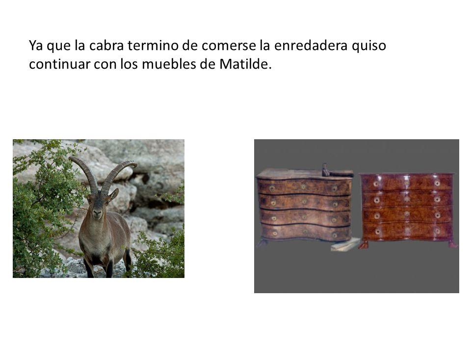 Ya que la cabra termino de comerse la enredadera quiso continuar con los muebles de Matilde.