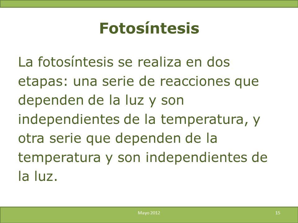 La fotosíntesis se realiza en dos etapas: una serie de reacciones que dependen de la luz y son independientes de la temperatura, y otra serie que depe