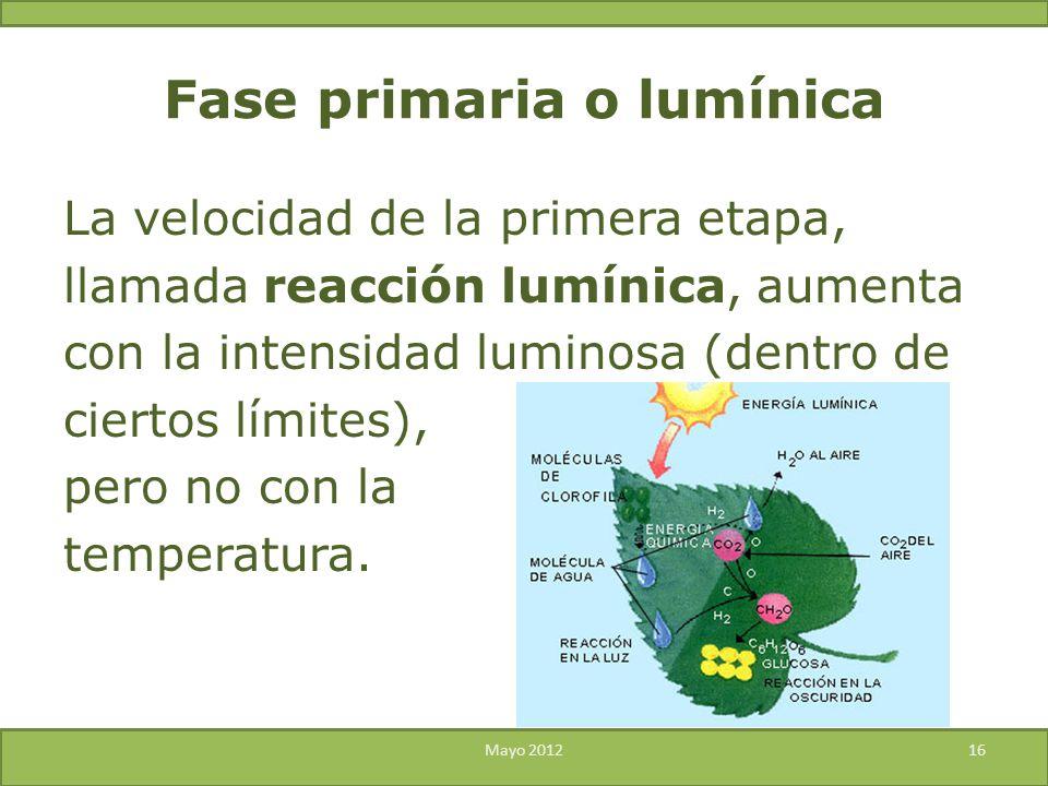 Fase primaria o lumínica La velocidad de la primera etapa, llamada reacción lumínica, aumenta con la intensidad luminosa (dentro de ciertos límites),