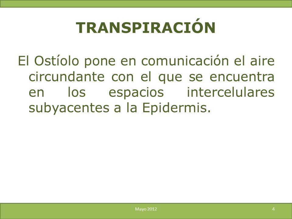 El Ostíolo pone en comunicación el aire circundante con el que se encuentra en los espacios intercelulares subyacentes a la Epidermis. Mayo 20124 TRAN