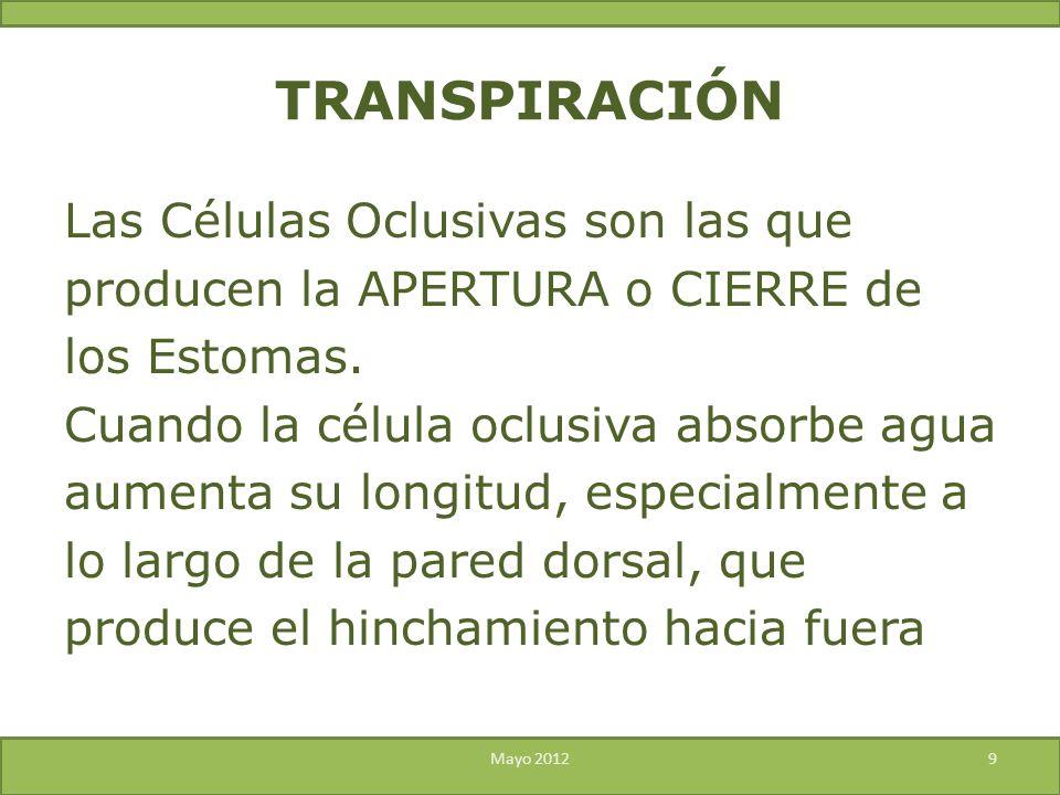 Las Células Oclusivas son las que producen la APERTURA o CIERRE de los Estomas. Cuando la célula oclusiva absorbe agua aumenta su longitud, especialme