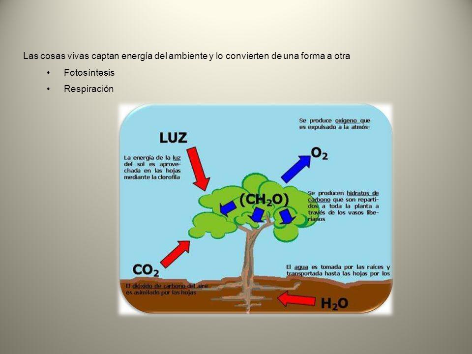 Las cosas vivas captan energía del ambiente y lo convierten de una forma a otra Fotosíntesis Respiración