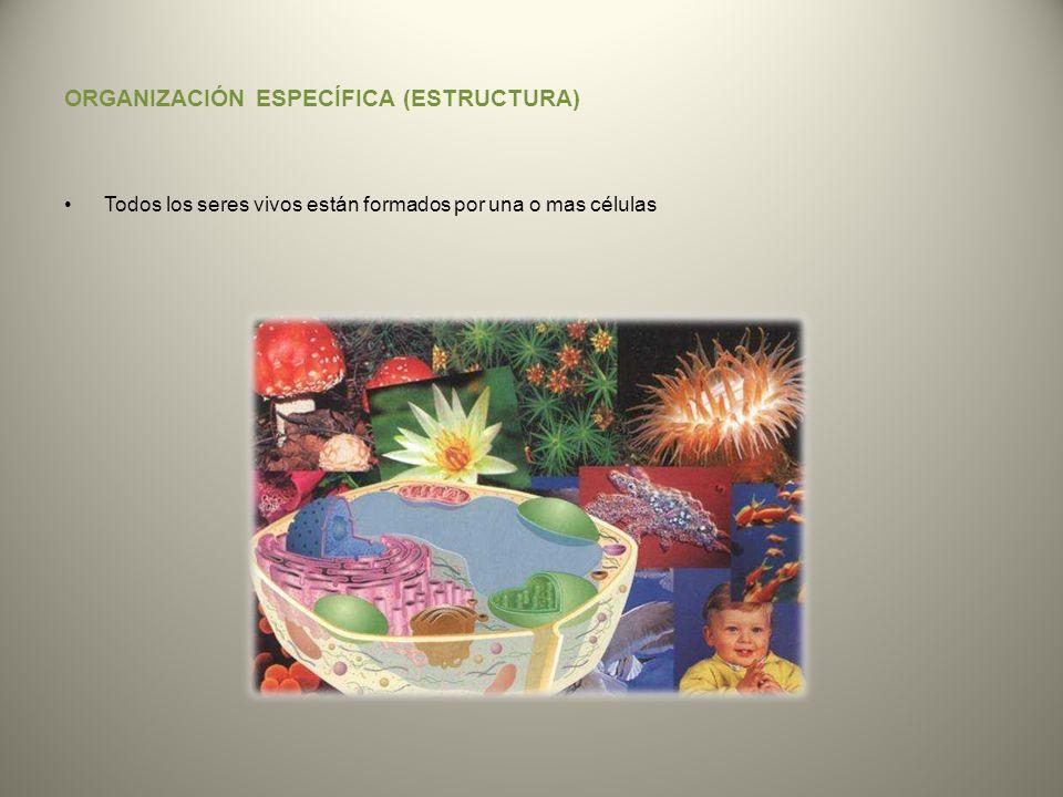 ORGANIZACIÓN ESPECÍFICA (ESTRUCTURA) Todos los seres vivos están formados por una o mas células