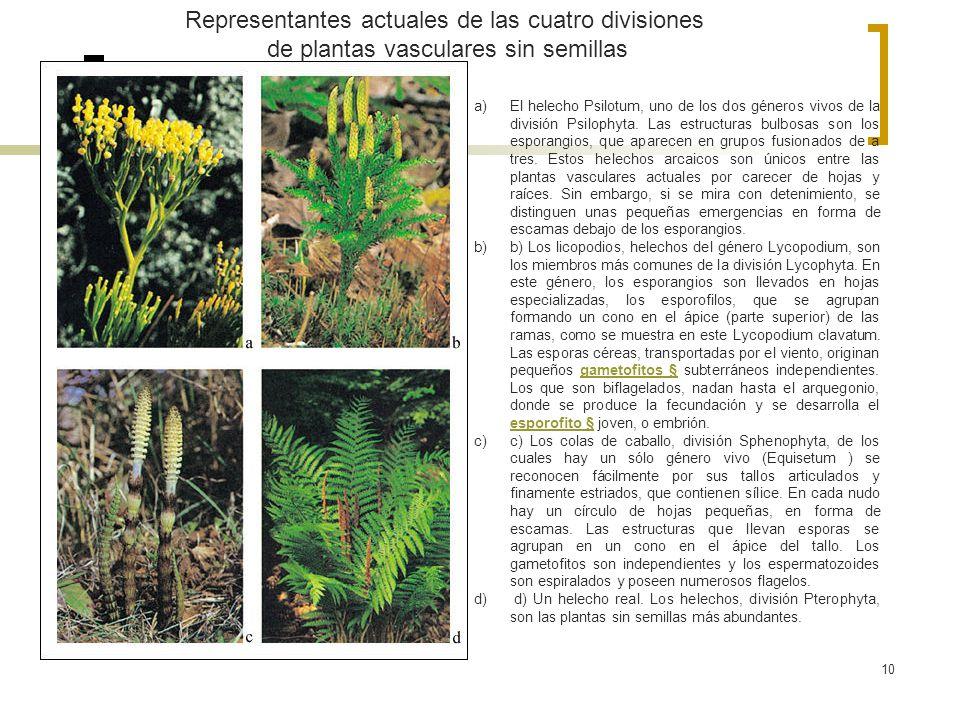 10 Representantes actuales de las cuatro divisiones de plantas vasculares sin semillas a)El helecho Psilotum, uno de los dos géneros vivos de la divis