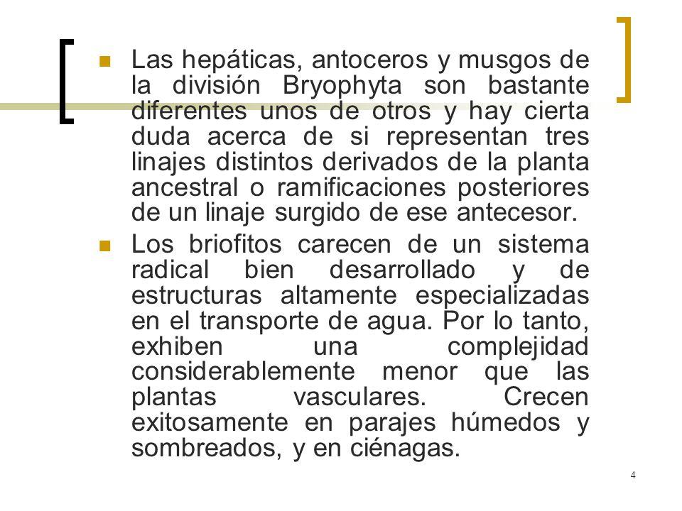 5 La mayoría de los briofitos carece de tejidos vasculares especializados y todas carecen de hojas verdaderas, aunque el cuerpo de la planta se diferencia en tejidos fotosintéticos, de almacenamiento, de alimento y de fijación.los briofitos Aunque los briofitos parecen haber cambiado poco en el curso de su historia evolutiva, las plantas vasculares han sufrido una gran diversificación.