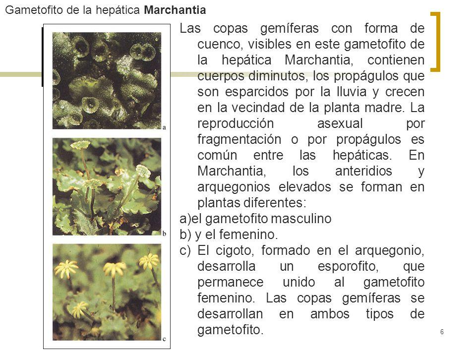 6 Gametofito de la hepática Marchantia Las copas gemíferas con forma de cuenco, visibles en este gametofito de la hepática Marchantia, contienen cuerp