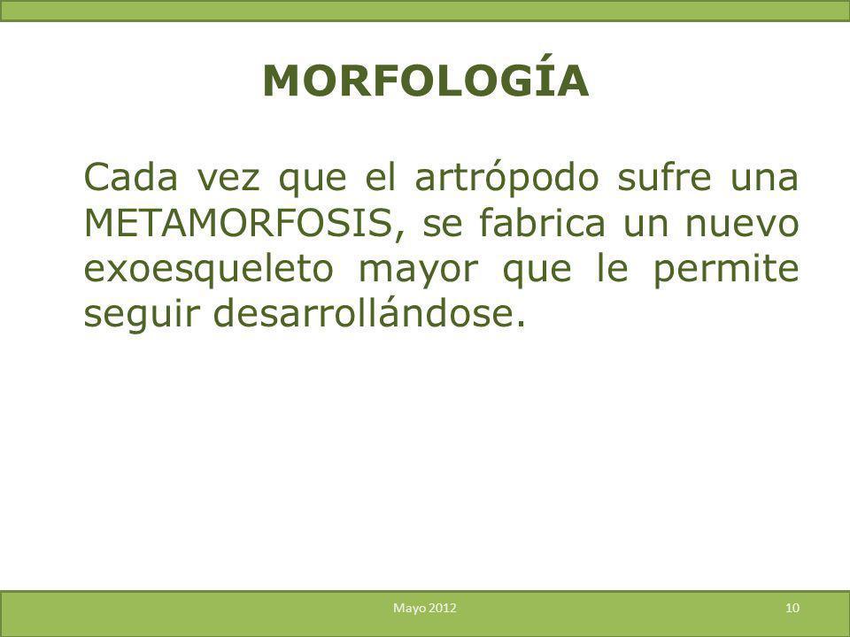 Cada vez que el artrópodo sufre una METAMORFOSIS, se fabrica un nuevo exoesqueleto mayor que le permite seguir desarrollándose. Mayo 201210 MORFOLOGÍA