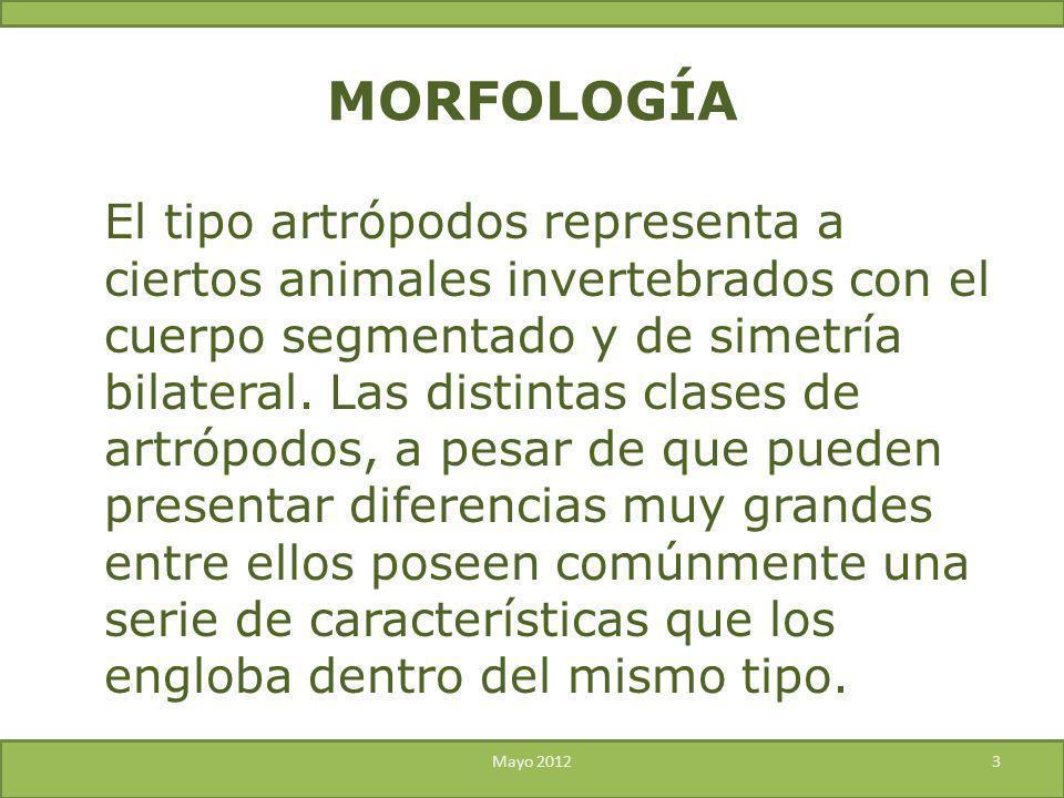 El tipo artrópodos representa a ciertos animales invertebrados con el cuerpo segmentado y de simetría bilateral. Las distintas clases de artrópodos, a