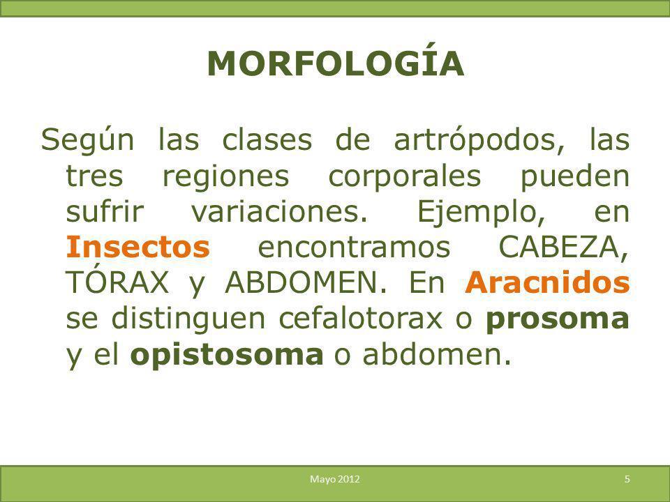 MORFOLOGÍA Según las clases de artrópodos, las tres regiones corporales pueden sufrir variaciones. Ejemplo, en Insectos encontramos CABEZA, TÓRAX y AB