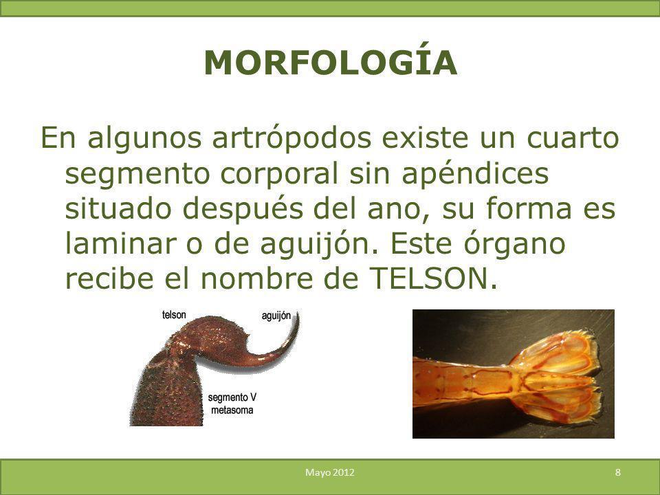 MORFOLOGÍA En algunos artrópodos existe un cuarto segmento corporal sin apéndices situado después del ano, su forma es laminar o de aguijón. Este órga
