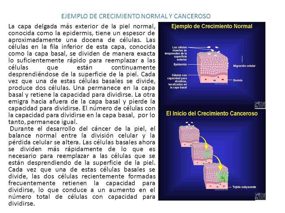 EJEMPLO DE CRECIMIENTO NORMAL Y CANCEROSO La capa delgada más exterior de la piel normal, conocida como la epidermis, tiene un espesor de aproximadame