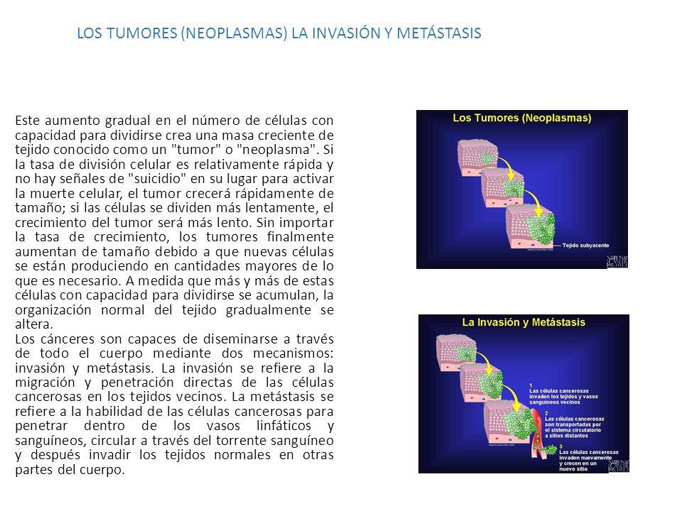LOS TUMORES (NEOPLASMAS) LA INVASIÓN Y METÁSTASIS Este aumento gradual en el número de células con capacidad para dividirse crea una masa creciente de