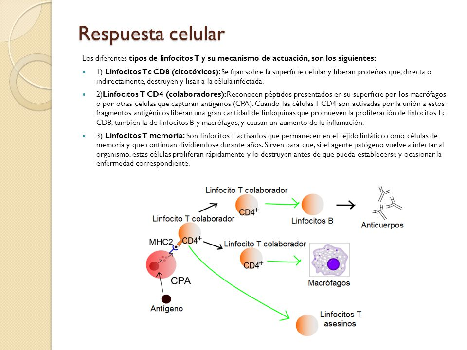 Respuesta celular Los diferentes tipos de linfocitos T y su mecanismo de actuación, son los siguientes: 1) Linfocitos Tc CD8 (citotóxicos): Se fijan s