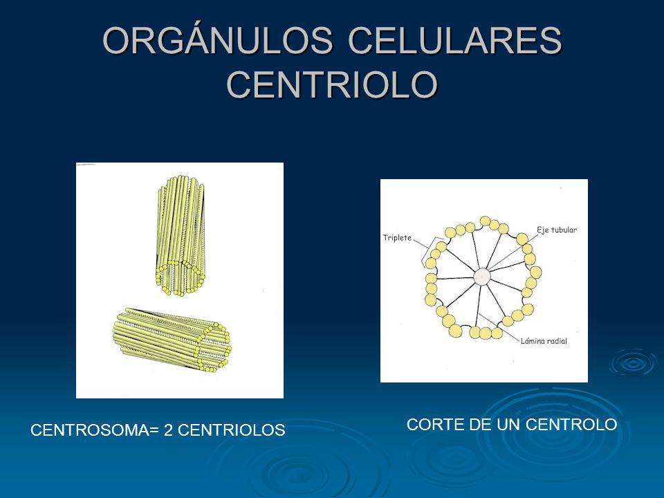 ORGÁNULOS CELULARES: EL NÚCLEO R.E. MT RE MT
