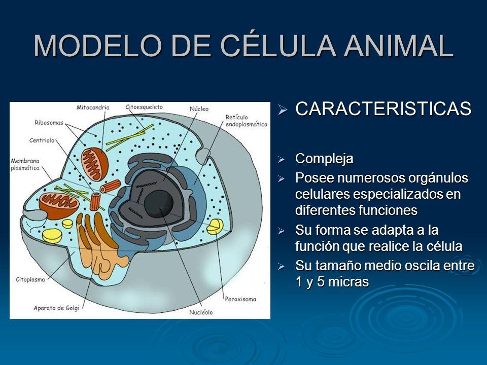 MODELO DE CÉLULA ANIMAL CARACTERISTICAS CARACTERISTICAS Compleja Compleja Posee numerosos orgánulos celulares especializados en diferentes funciones Posee numerosos orgánulos celulares especializados en diferentes funciones Su forma se adapta a la función que realice la célula Su forma se adapta a la función que realice la célula Su tamaño medio oscila entre 1 y 5 micras Su tamaño medio oscila entre 1 y 5 micras