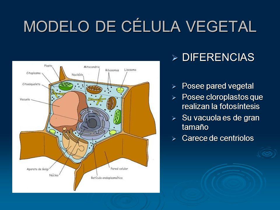 MODELO DE CÉLULA VEGETAL DIFERENCIAS DIFERENCIAS Posee pared vegetal Posee pared vegetal Posee cloroplastos que realizan la fotosíntesis Posee cloroplastos que realizan la fotosíntesis Su vacuola es de gran tamaño Su vacuola es de gran tamaño Carece de centriolos Carece de centriolos