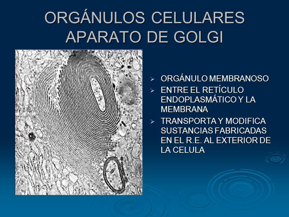 ORGÁNULOS CELULARES APARATO DE GOLGI ORGÁNULO MEMBRANOSO ORGÁNULO MEMBRANOSO ENTRE EL RETÍCULO ENDOPLASMÁTICO Y LA MEMBRANA ENTRE EL RETÍCULO ENDOPLASMÁTICO Y LA MEMBRANA TRANSPORTA Y MODIFICA SUSTANCIAS FABRICADAS EN EL R.E.