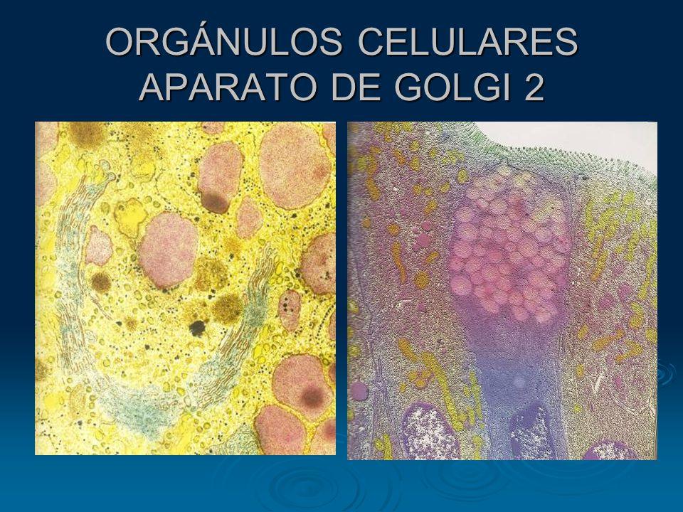 ORGÁNULOS CELULARES APARATO DE GOLGI 2
