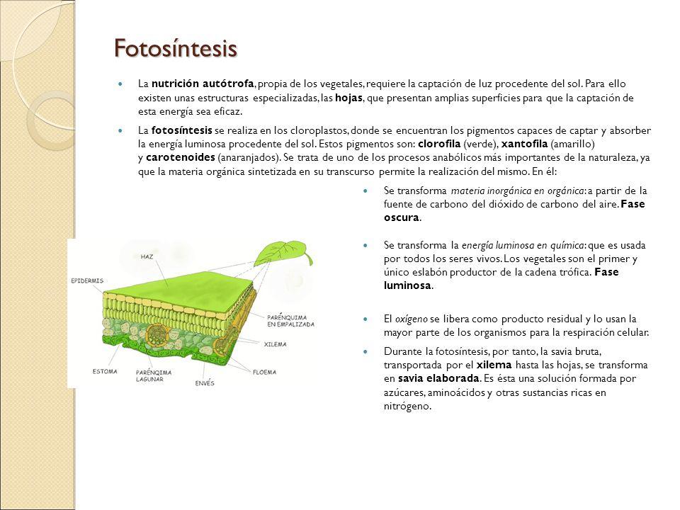 Fotosíntesis La nutrición autótrofa, propia de los vegetales, requiere la captación de luz procedente del sol. Para ello existen unas estructuras espe