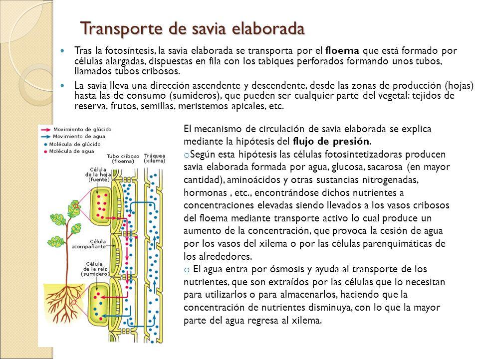 Transporte de savia elaborada Tras la fotosíntesis, la savia elaborada se transporta por el floema que está formado por células alargadas, dispuestas