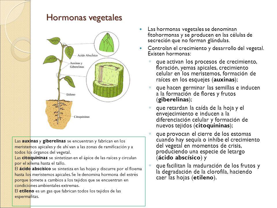 Hormonas vegetales Las hormonas vegetales se denominan fitohormonas y se producen en las células de secreción que no forman glándulas. Controlan el cr