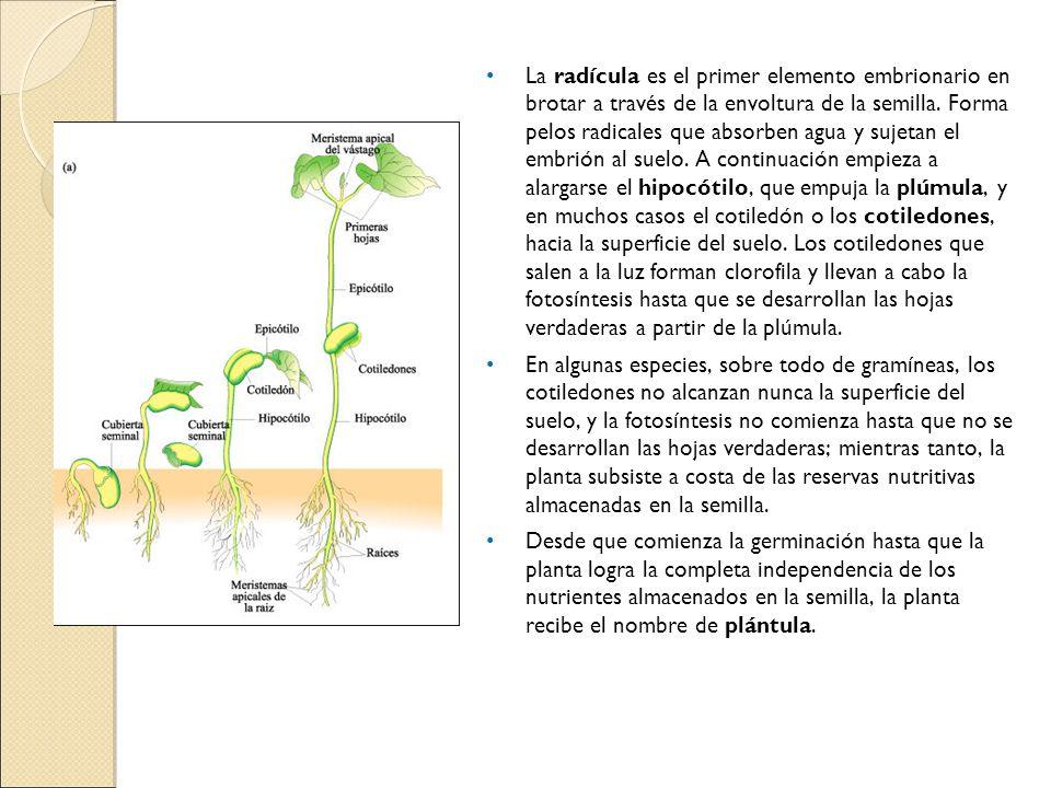 La radícula es el primer elemento embrionario en brotar a través de la envoltura de la semilla. Forma pelos radicales que absorben agua y sujetan el e