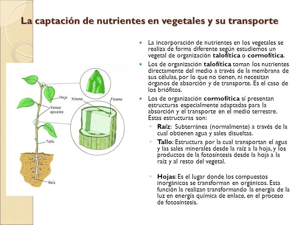 La captación de nutrientes en vegetales y su transporte La incorporación de nutrientes en los vegetales se realiza de forma diferente según estudiemos