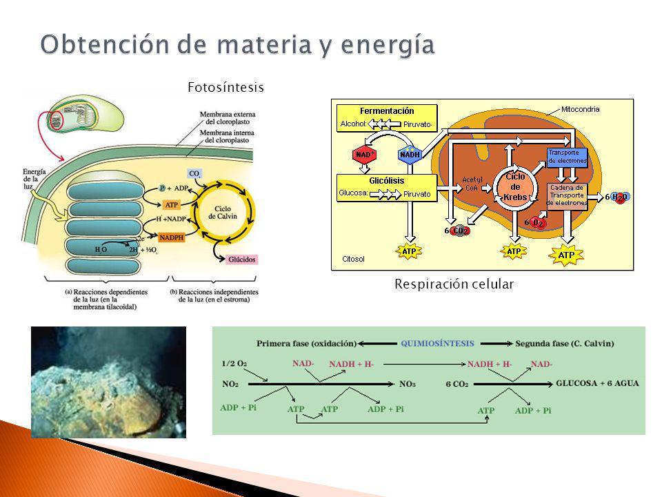 Respiración celular Fotosíntesis