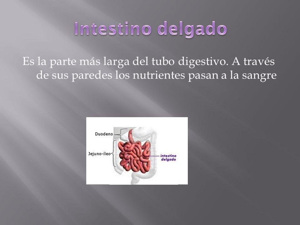 Es la parte más larga del tubo digestivo. A través de sus paredes los nutrientes pasan a la sangre