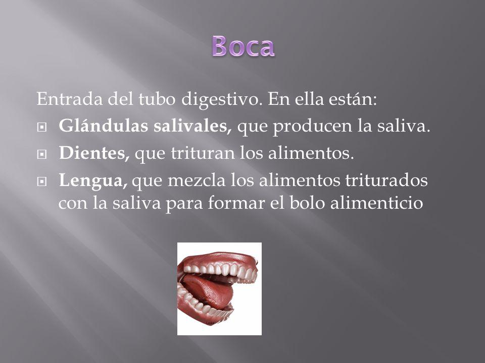 Entrada del tubo digestivo. En ella están: Glándulas salivales, que producen la saliva. Dientes, que trituran los alimentos. Lengua, que mezcla los al
