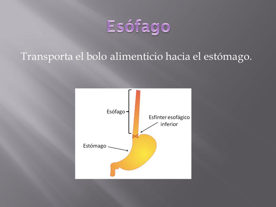 Es un ensanchamiento del tubo digestivo. En el bolo alimenticio se mezcla el jugo gástrico.