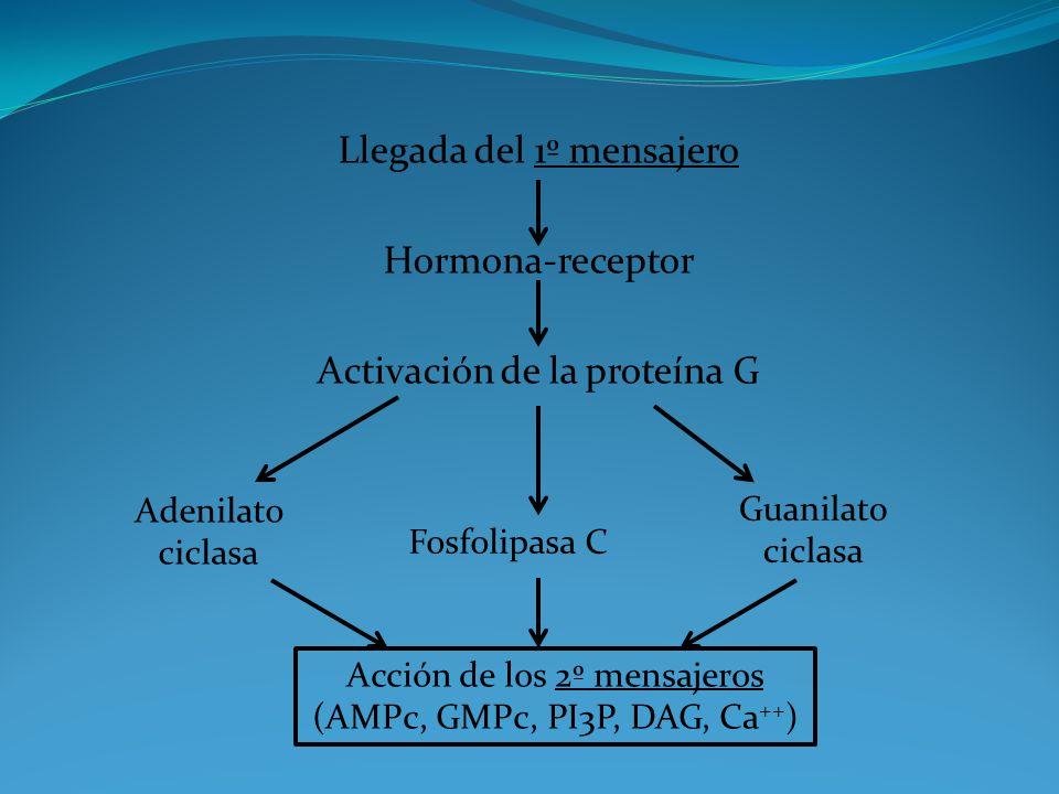 Llegada del 1º mensajero Hormona-receptor Activación de la proteína G Adenilato ciclasa Fosfolipasa C Guanilato ciclasa Acción de los 2º mensajeros (A