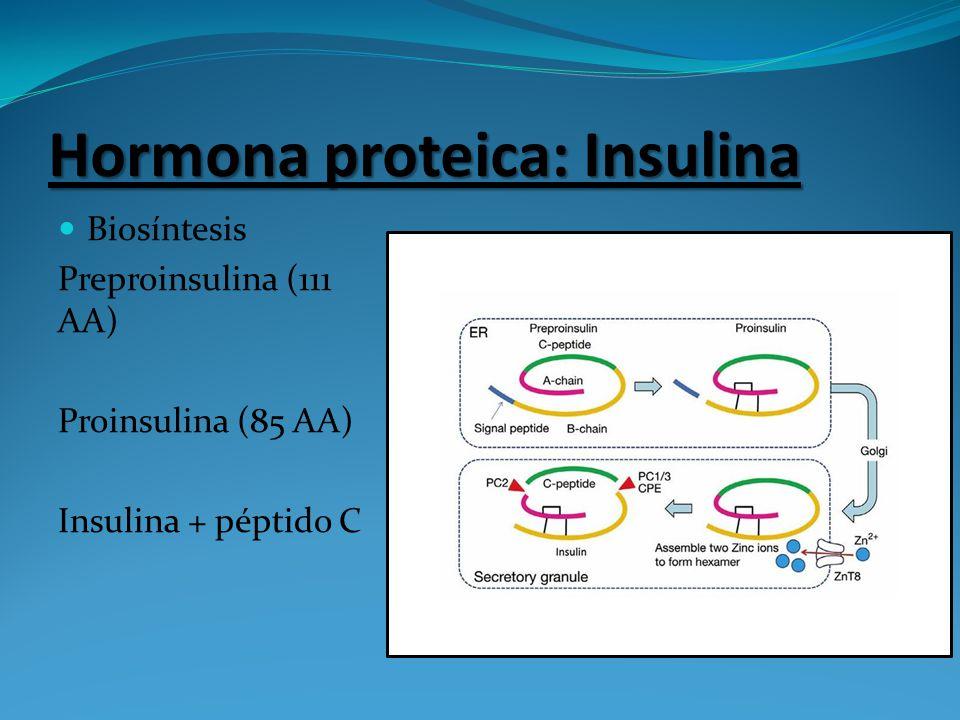 Hormona proteica: Insulina Biosíntesis Preproinsulina (111 AA) Proinsulina (85 AA) Insulina + péptido C