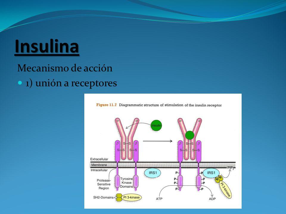 Insulina Mecanismo de acción 1) unión a receptores