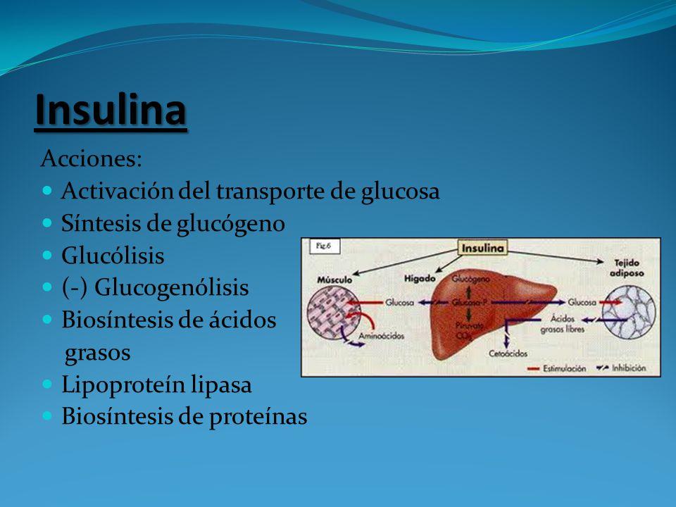 Insulina Acciones: Activación del transporte de glucosa Síntesis de glucógeno Glucólisis (-) Glucogenólisis Biosíntesis de ácidos grasos Lipoproteín l