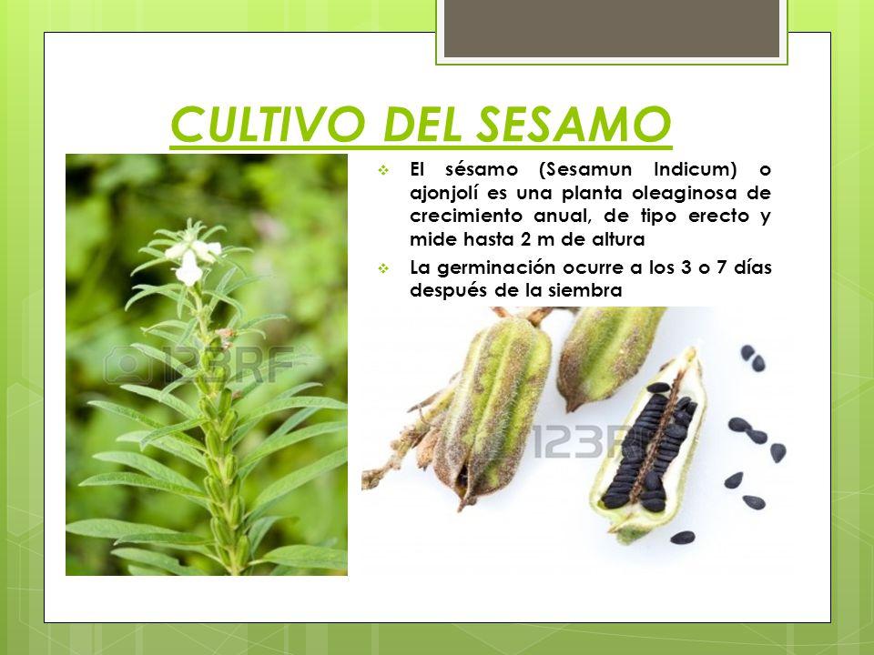 CULTIVO DEL SESAMO El sésamo (Sesamun Indicum) o ajonjolí es una planta oleaginosa de crecimiento anual, de tipo erecto y mide hasta 2 m de altura La