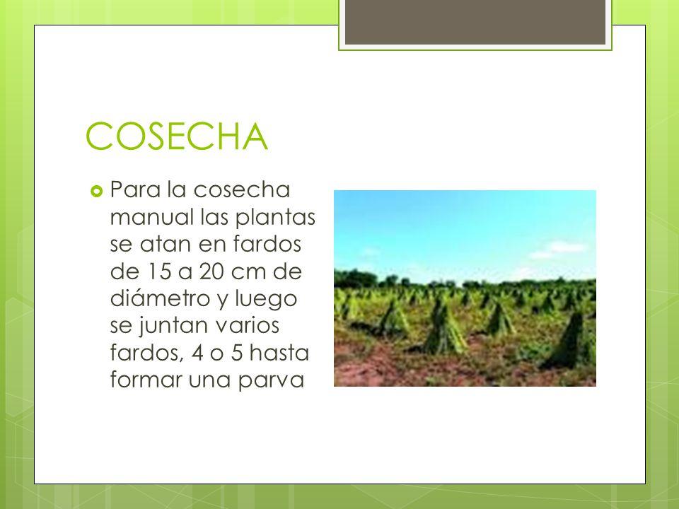 COSECHA Para la cosecha manual las plantas se atan en fardos de 15 a 20 cm de diámetro y luego se juntan varios fardos, 4 o 5 hasta formar una parva