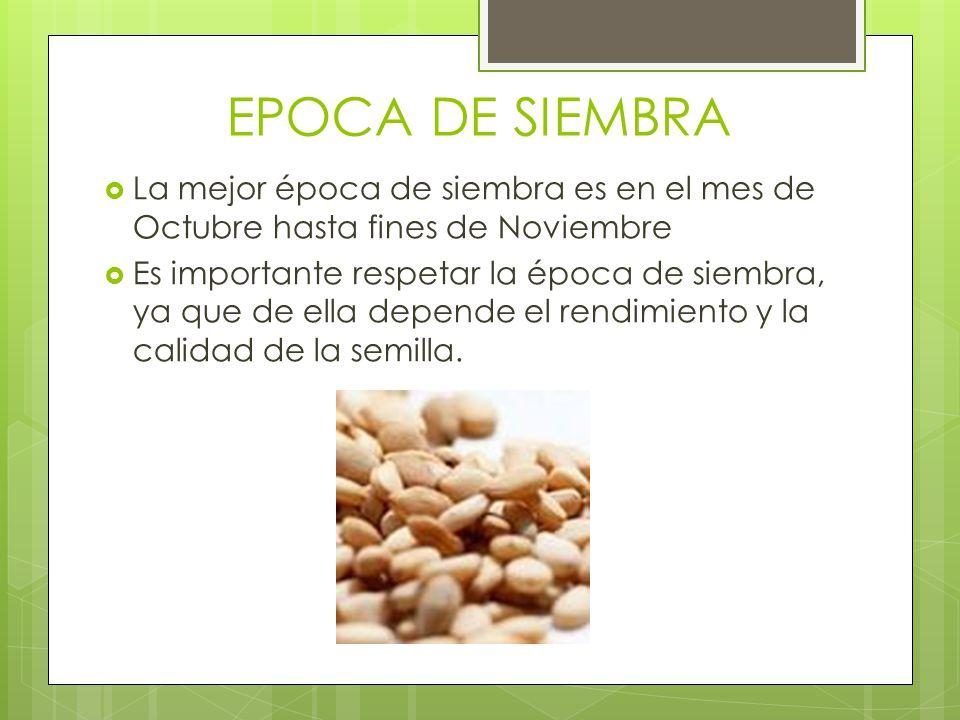 EPOCA DE SIEMBRA La mejor época de siembra es en el mes de Octubre hasta fines de Noviembre Es importante respetar la época de siembra, ya que de ella