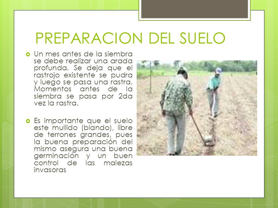 PREPARACION DEL SUELO Un mes antes de la siembra se debe realizar una arada profunda. Se deja que el rastrojo existente se pudra y luego se pasa una r