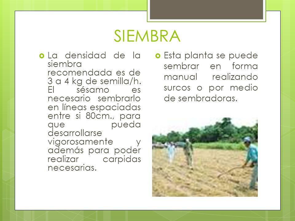 SIEMBRA La densidad de la siembra recomendada es de 3 a 4 kg de semilla/h. El sésamo es necesario sembrarlo en líneas espaciadas entre si 80cm., para