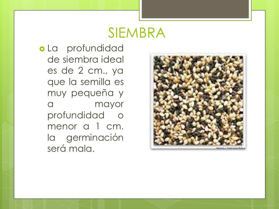 SIEMBRA La profundidad de siembra ideal es de 2 cm., ya que la semilla es muy pequeña y a mayor profundidad o menor a 1 cm. la germinación será mala.