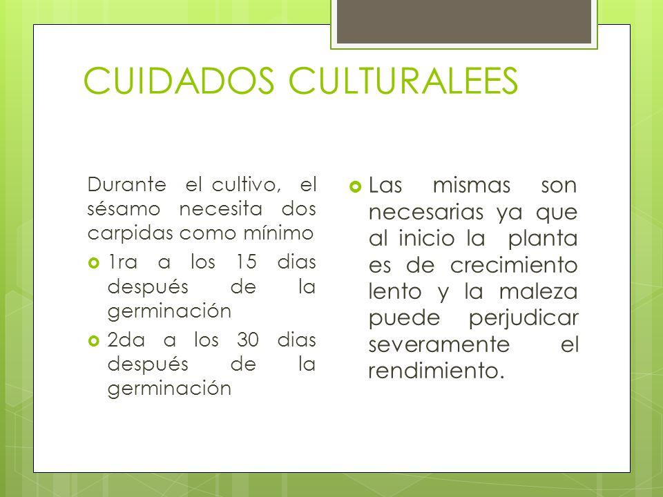 CUIDADOS CULTURALEES Durante el cultivo, el sésamo necesita dos carpidas como mínimo 1ra a los 15 dias después de la germinación 2da a los 30 dias des