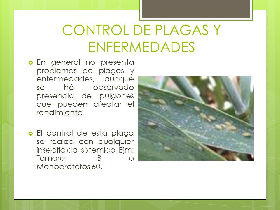 CONTROL DE PLAGAS Y ENFERMEDADES En general no presenta problemas de plagas y enfermedades, aunque se há observado presencia de pulgones que pueden af