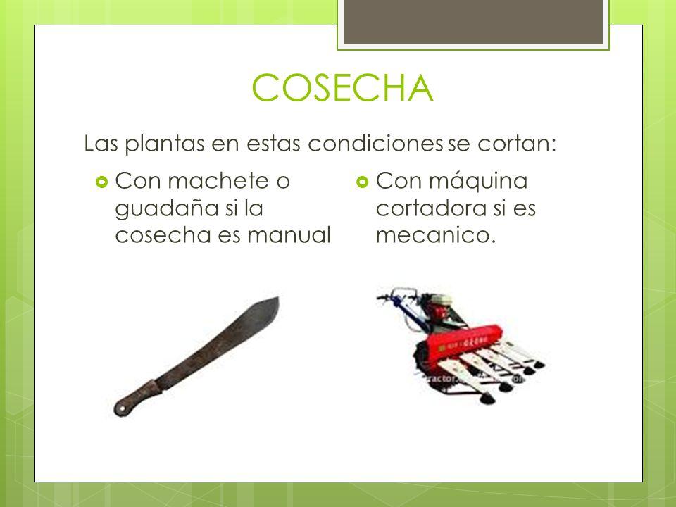 COSECHA Las plantas en estas condiciones se cortan: Con máquina cortadora si es mecanico. Con machete o guadaña si la cosecha es manual