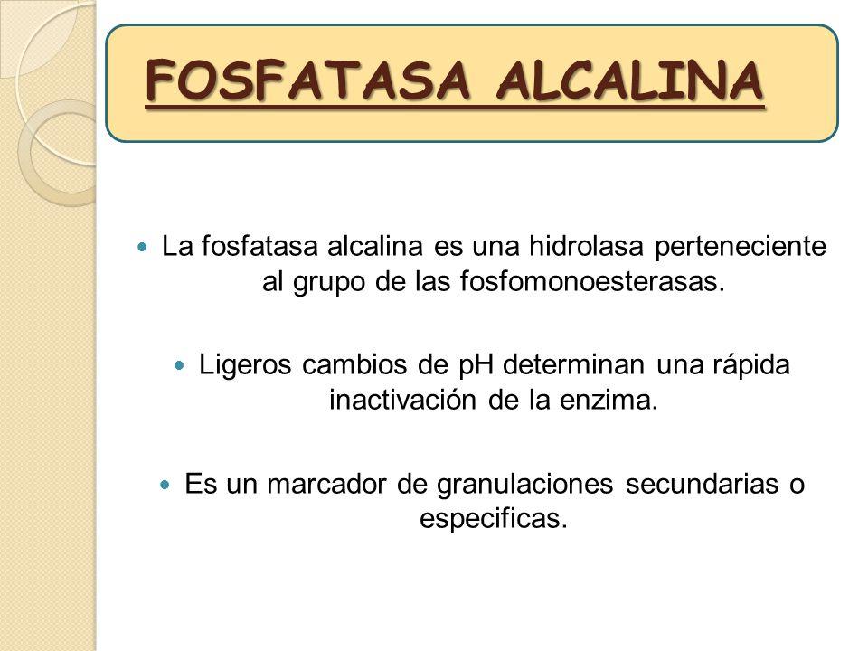 FOSFATASA ALCALINA La fosfatasa alcalina es una hidrolasa perteneciente al grupo de las fosfomonoesterasas. Ligeros cambios de pH determinan una rápid