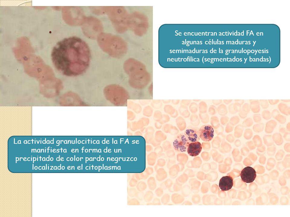 La actividad granulocitica de la FA se manifiesta en forma de un precipitado de color pardo negruzco localizado en el citoplasma. Se encuentran activi