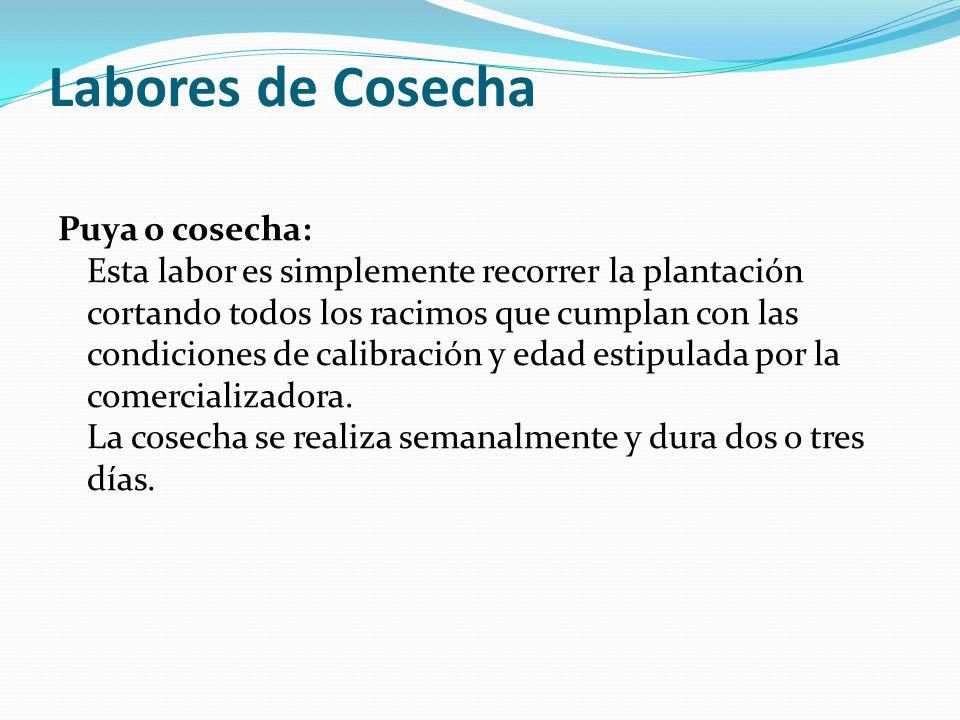 Labores de Cosecha Puya o cosecha: Esta labor es simplemente recorrer la plantación cortando todos los racimos que cumplan con las condiciones de calibración y edad estipulada por la comercializadora.